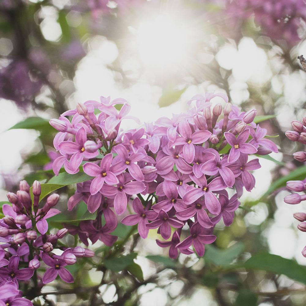 Lilac Photo, Lilac Photograph, Gifts for Her, Floral Spring Decor, Lilac Art, Lilac Photography, Shabby Chic Art, large bedroom art
