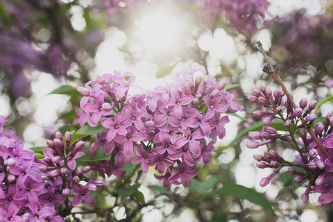 Lilac Printable Wall Art - Instant Download - april bern art & photography