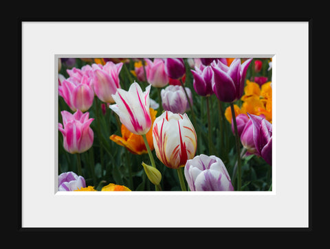 Tulips Photography, Pink Tulip Art - april bern photography