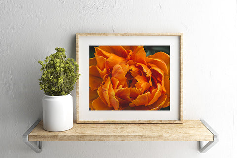 Luscious Tulip Art Print - Spring Wall Art - april bern photography