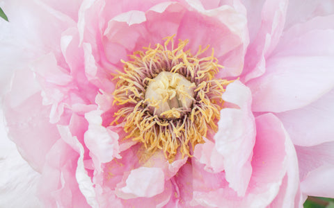 Pink Peony Photo Notecard - Blank Greeting Card - april bern photography