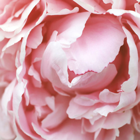 Pink Peony Fine Art Photography - april bern photography