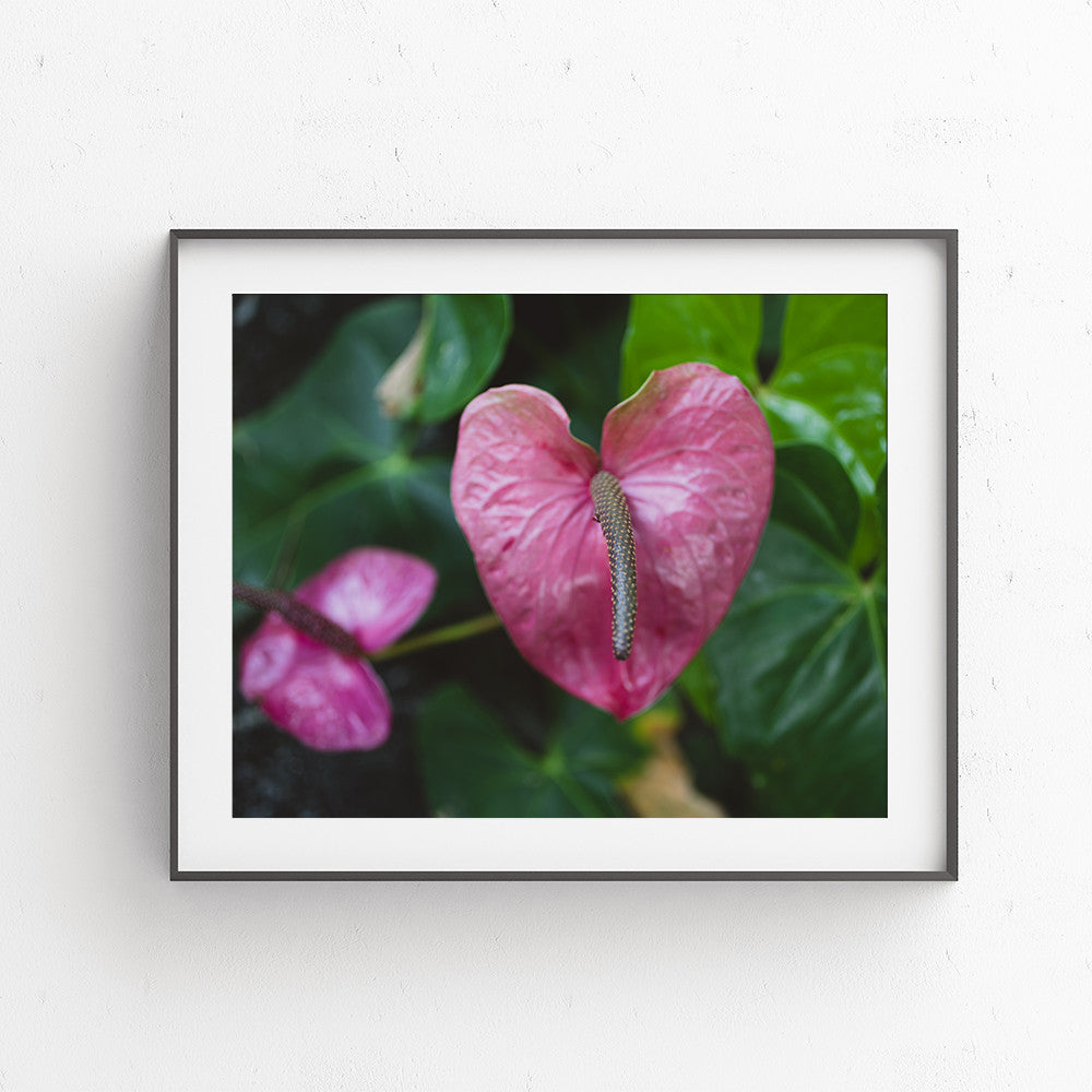 Digital Download - Heart Shaped Pink Anthurium