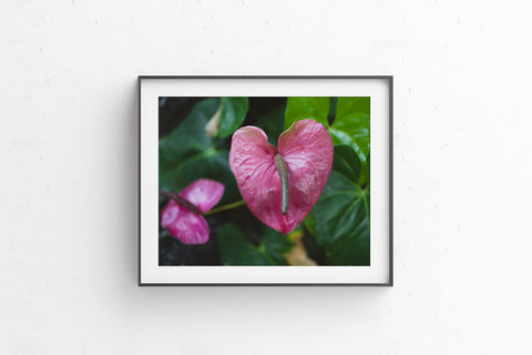 Printable photo download - Heart Shaped Pink Anthurium