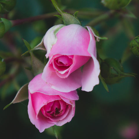 Rose Art Print - Pink Rose Photography