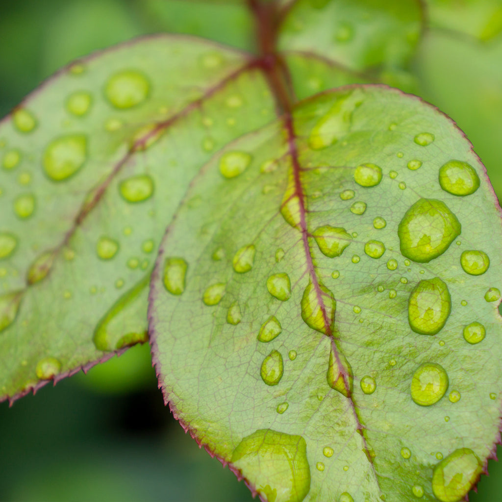 Leaf with Raindrops, Botanical Art Print - april bern photography