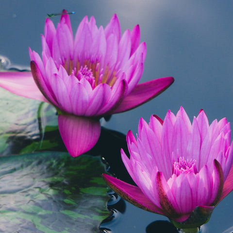 Purple Waterlily Duo Fine Art Photography - april bern photography
