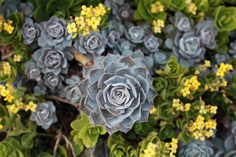 Succulent Digital Photography Print