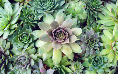 Succulent Photography, Hen and Chicks Photo - april bern photography