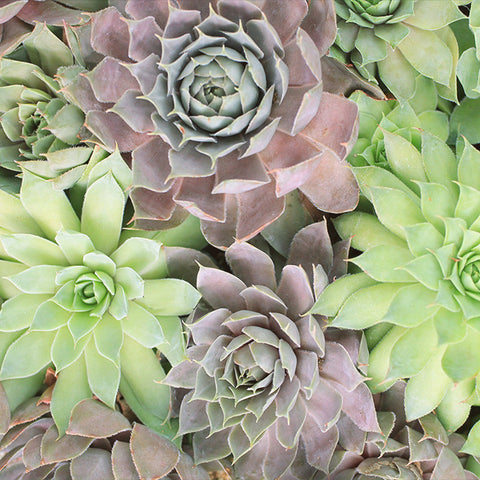 Succulent Photography, Hen and Chicks Succulent Art Print