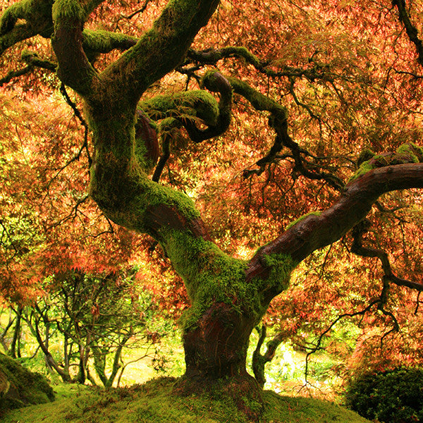 Oregon Japanese Garden- Fall Tree Photo - april bern photography