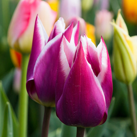 Tulip Fine Art Photography, Spring Floral Home Decor
