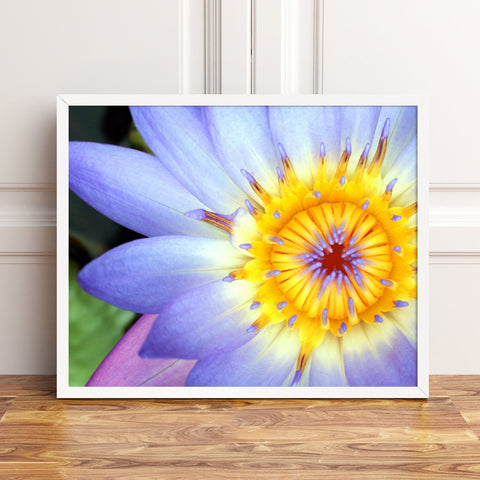 Purple Water Lily Fine Art Print