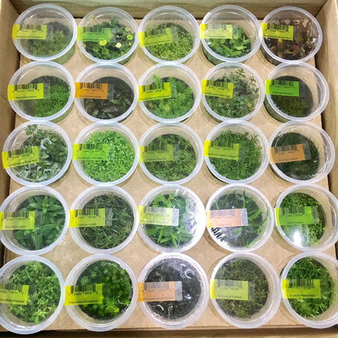 New shipment of AFA Tissue culture plants are in stock now! – Aqua