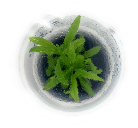 IC372 Tissue Culture - Drosera Adelae  (cup size: short)