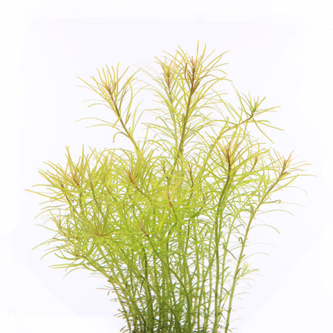"IC400 ADA Tissue Culture  - Rotala ""Nanjenshen"" (cup size: tall)"