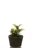 IC106 ADA Tissue Culture  - Bucephalandra sp. 'Sintang' (cup size: short)