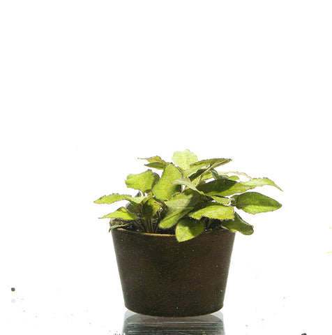 IC215 ADA Tissue Culture - Lagenandra keralensis  (cup size: Tall)