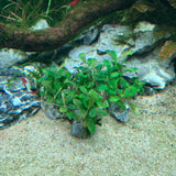 IC106 ADA Tissue Culture Bucephalandra sp. 'Sintang' (cup size: short)