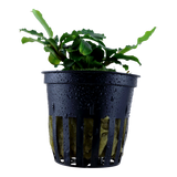 Tropica Aquarium Plants: Bucephalandra sp. 'Wavy green' potted