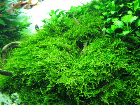 IC809 ADA Tissue Culture Plant - Christmas moss (Vesicularia Montagnei) (cup size: short)