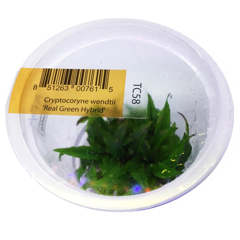 "AFA Tissue Culture - Cryptocoryne Wendtii ""Real Green Hybrid"" (cup size: tall)"