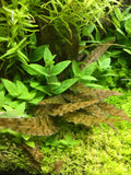 IC090 ADA Tissue Culture Cryptocoryne Axelrodi (cup size: tall)