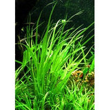 IC031 ADA Tissue Culture  - Cyperus helferi (cup size: tall)