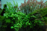 "IC043 ADA Tissue Culture  - Rotala sp. ""H'Ra""  (cup size: tall)"