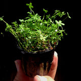 Marsilea crenate (Dwarf Four Leaf Clover)  potted