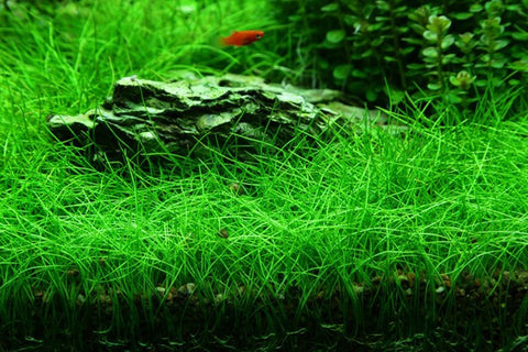 "IC027 ADA Tissue Culture Plant Eleocharis acicularis mini  ""Japanese Dwarf Hair Grass"" (labeled as Eleocharis parvula) (cup size: short)"