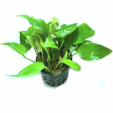 Anubias nana Gold (potted)