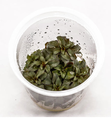 AFA Tissue Culture  - Ludwigia repens Glandulosa (cup size: tall)