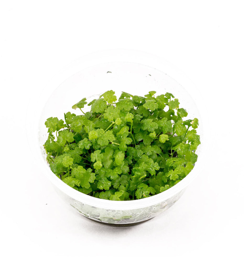 IC014 ADA Tissue Culture  - Hydrocotyle tripartita (cup size: short)