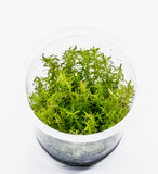 IC025 ADA Tissue Culture  - Rotala sp. 'Vietnam' (cup size: tall)