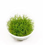 "IC027 ADA Tissue Culture Plant - Eleocharis acicularis mini  ""Japanese Dwarf Hair Grass"" (labeled as Eleocharis parvula) (cup size: short)"