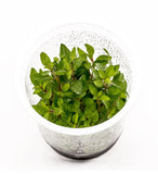 IC030 ADA Tissue Culture Plant - Staurogyne Repens (cup size: tall)