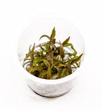 IC090 ADA Tissue Culture - Cryptocoryne Axelrodi (cup size: short)