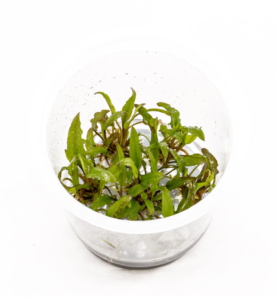"AFA Tissue Culture  - Cryptocoryne Wendtii ""Green"" (cup size: tall)"