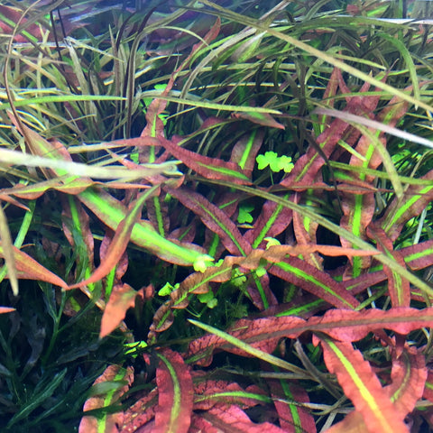 IC198 ADA Tissue Culture  - Cryptocoryne spiralis 'tiger' (cup size: tall)