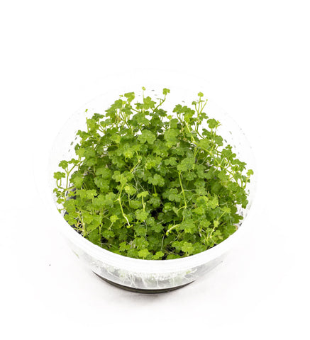 "IC203 ADA Tissue Culture  - Hydrocotyle tripartita ""mini"" (cup size: short)"