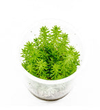 IC405 ADA Tissue Culture - Pogostemon Erectus (cup size: tall)