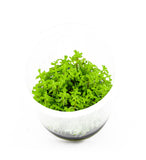 IC432 ADA Tissue Culture  - Rotala sp. 'Wayanad' (cup size: tall)