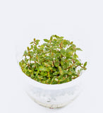 IC454 ADA Tissue Culture  - Nesaea Pedicellata (cup size: tall)