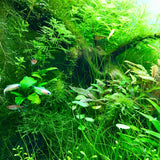 ADA AQUASKY G 361 for W36cm tank