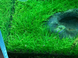 "IC027 ADA Tissue Culture Plant - Eleocharis acicularis mini  ""Japanese Dwarf Hair Grass"" (cup size: short)"