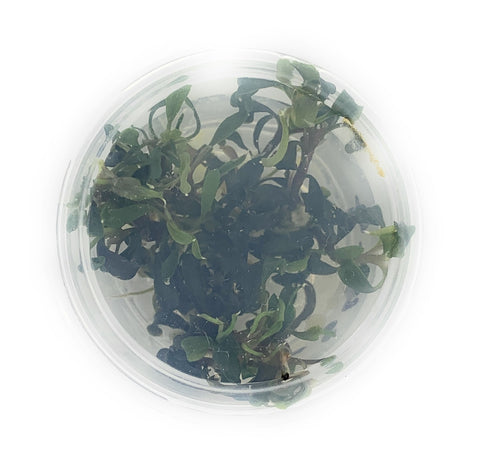 Bucephalandra Kedagang Japan Tissue Culture cup (small)