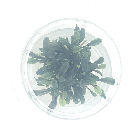 Bucephalandra red mini tissue culture cup (small)