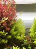 IC452 ADA Tissue Culture  - Myriophyllum sp mini guyana (cup size: tall)