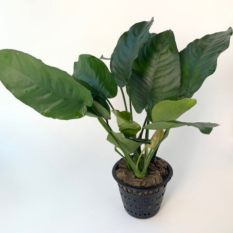 Anubias barteri 'broad leaf' (Mother pot)